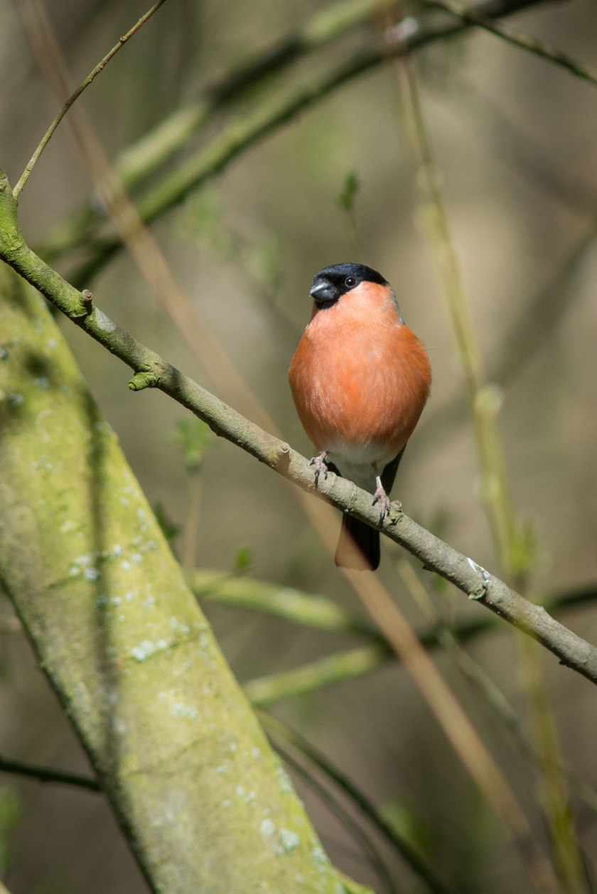 Bullfinch-D7100-300mm-DSC_0684