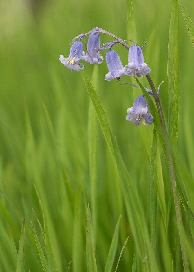 Bluebells-3-HH-frames-focus-stacked