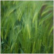 Field-of-Barley-D750-21052017-(14)