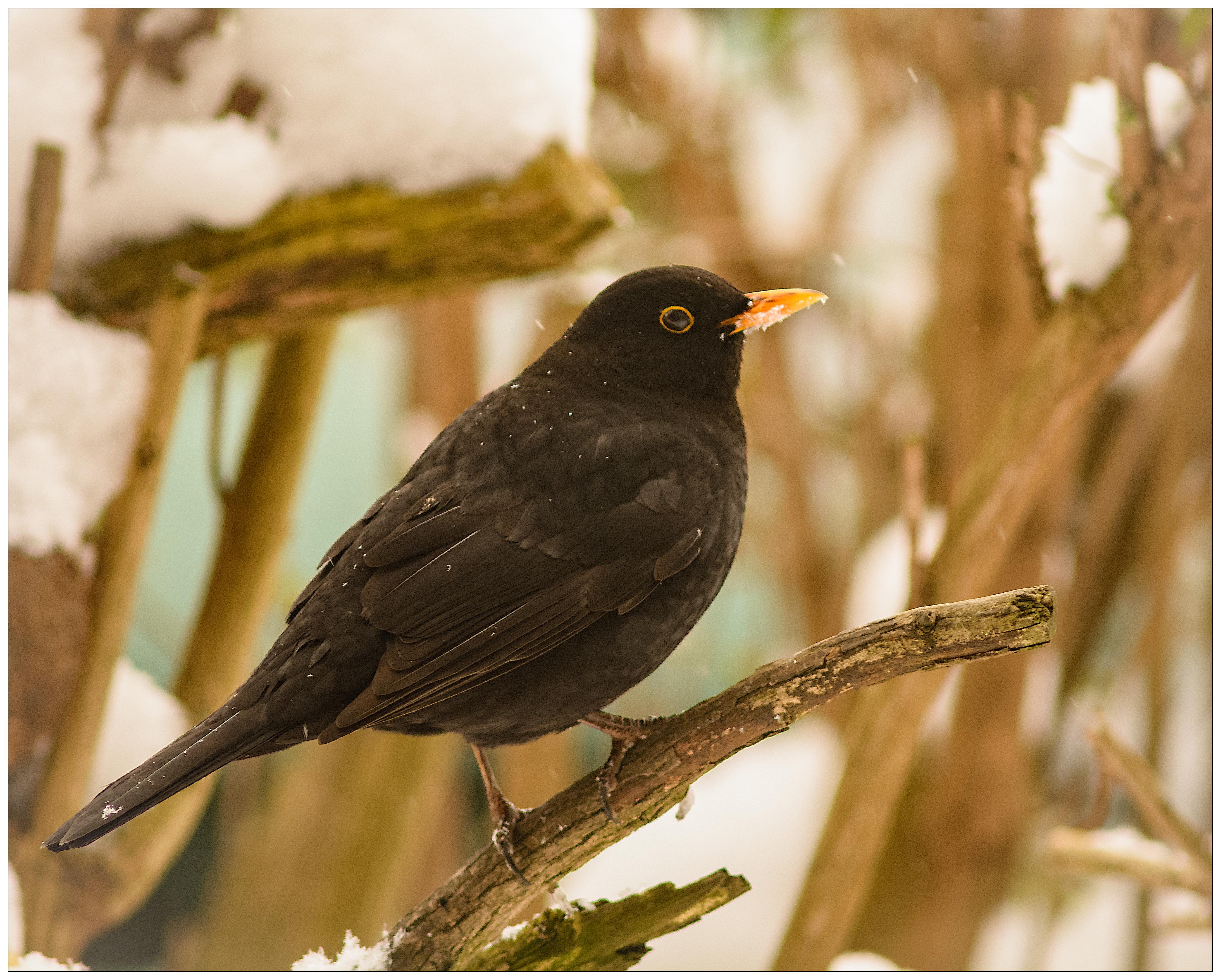 Blackbird-DSC_3365