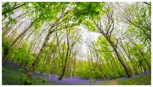 fb-XT1_Fisheye-Bluebells-29042017_DSCF3112